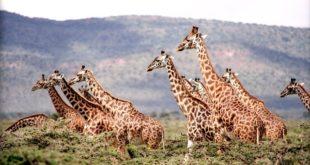 Safari en Afrique : girafes